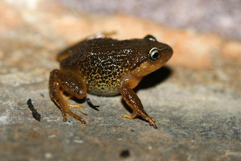 Pristimantis macrummendozai frog was discovered in the Iguaque Merchan paramos, Colombia's East Andes