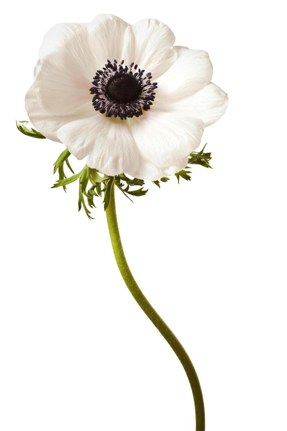Anemone Flower Care Tips