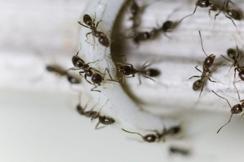 """<p><strong>What they look like:</strong> These black ants are tiny. They grow between 1/16 to 1/8 inch long. When they're crushed, they release a bad (somewhat sweet) odor, <a href=""""https://extension.tennessee.edu/publications/Documents/PB1629.pdf"""" rel=""""nofollow noopener"""" target=""""_blank"""" data-ylk=""""slk:often described as rotten coconut or banana"""" class=""""link rapid-noclick-resp"""">often described as rotten coconut or banana</a>.</p><p><strong>Where you'll find them</strong>: Odorous house ants feed on pretty much anything, but are drawn to sweet things. So, you'll often find them near water and food sources, like garbage cans and kitchen sinks or counters. They also nest indoors near sources of warmth, commonly in wall voids near pipes or heaters. </p><p><strong>Can they harm you?</strong> Nope, just <a href=""""https://www.prevention.com/life/a32316805/how-to-get-rid-of-ants/"""" rel=""""nofollow noopener"""" target=""""_blank"""" data-ylk=""""slk:keep an eye on your groceries"""" class=""""link rapid-noclick-resp"""">keep an eye on your groceries</a>.</p>"""