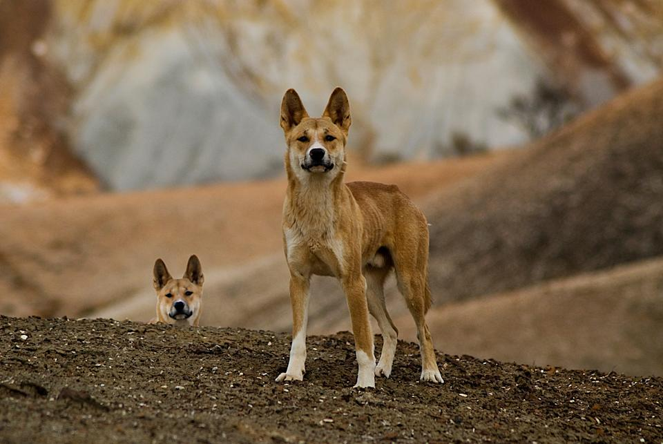 The Dog Fence runs through the Painted Desert where dingoes have lived for thousands of years. Source: Getty