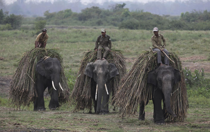 Mahouts return with their elephants after collecting fodder at the Kaziranga National Park at Kaziranga in Assam state, India, Monday, April 8, 2013.Wildlife authorities used drones on Monday for aerial surveillance of the sprawling natural game park in northeastern India to protect the one-horned rhinoceros from armed poachers. The drones will be flown at regular intervals to prevent rampant poaching in the park located in the remote Indian state of Assam. The drones are equipped with cameras and will be monitored by security guards, who find it difficult to guard the whole 480-square kilometer (185-square mile) reserve. (AP Photo/Anupam Nath)