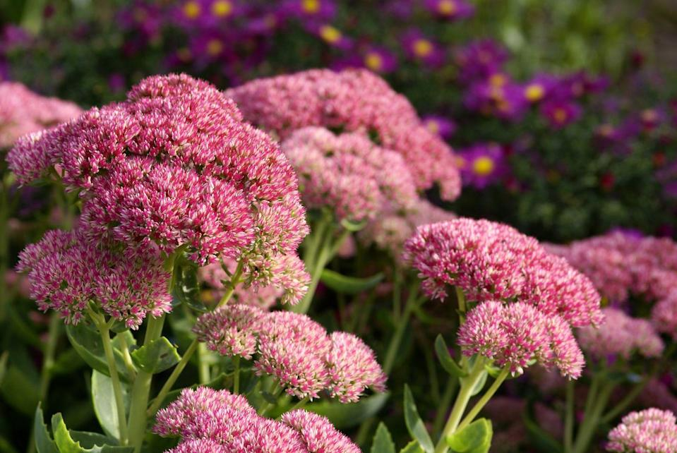 """<p><a href=""""http://www.costafarms.com/plants/sedum"""" rel=""""nofollow noopener"""" target=""""_blank"""" data-ylk=""""slk:Sedum"""" class=""""link rapid-noclick-resp"""">Sedum</a> produce lush, vivid heads of rose, red, yellow, and white flowers when in bloom during the autumn months. The low-growing shrub survives best in full sun and requires well-draining soil. </p><p><strong>When it blooms: </strong>Early summer through late fall</p><p><strong>Where to plant:</strong> Full sun</p><p><strong>When to plant: </strong>Spring, after last frost</p><p><strong>USDA Hardiness Zones:</strong> 4 to 9</p>"""
