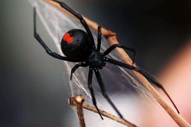 Man bitten on penis by venomous spider for second time