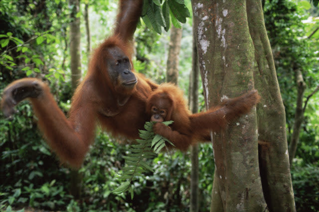Orangutans are threatened by the loss of their forest home (naturepl.com /Anup Shah/WWF/PA)