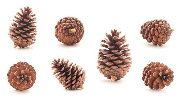 Pine cone tree fruits isolate on white background