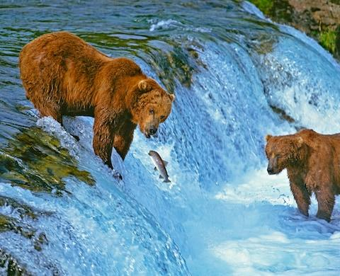 Bears feast on salmon once a year - Credit: GETTY