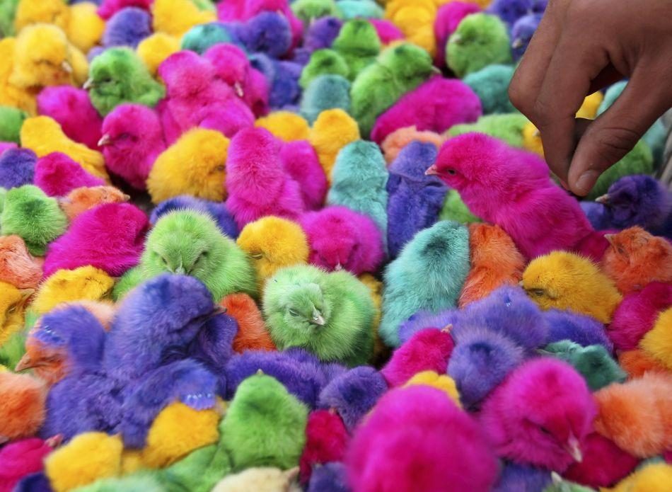 Colored chicks are sold during the run-up to Easter in downtown Amman, Jordan.