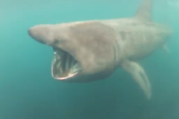 Surfer almost swallowed whole by basking shark in Cornwall (video)