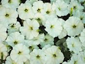 """<p>Old varieties of this annual required deadheading to keep blooming, but new hybrids bloom all season without any fussing on your part. Trailing or double varieties are especially lovely in window boxes and hanging baskets. Petunias need full sun. </p><p><a class=""""link rapid-noclick-resp"""" href=""""https://go.redirectingat.com?id=74968X1596630&url=https%3A%2F%2Fwww.homedepot.com%2Fp%2FPROVEN-WINNERS-4-25-in-Grande-Supertunia-White-Flowers-Vista-Snowdrift-Petunia-Live-Plant-4-Pack-SUPPRW4057524%2F311360547&sref=https%3A%2F%2Fwww.redbookmag.com%2Fhome%2Fg35507259%2Fbest-white-flowers%2F"""" rel=""""nofollow noopener"""" target=""""_blank"""" data-ylk=""""slk:SHOP PETUNIAS"""">SHOP PETUNIAS</a></p>"""