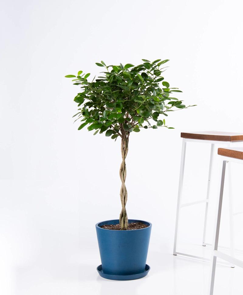 This Ficus Danielle has a braided trunk and small, bright green leaves. It also removes formaldehyde, xylene, and toluene from the air.