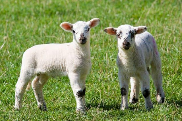 Lambs in the Cotswolds, United Kingdom