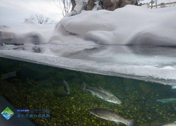 The aquarium tank where the water surface freezes over in the winter. It can be seen from around January to February every year (Photo provided by Northern Daichi Aquarium)