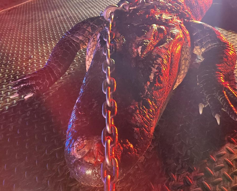 A 10ft alligator sits on the back of a truck after it was hit by a car and killed.