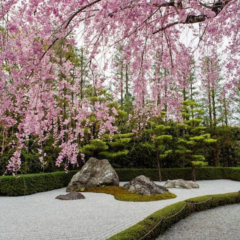 Cherry blossom at Taizo-in, Kyoto: an enduring image of Japan in the West - Credit: Akira Nakata