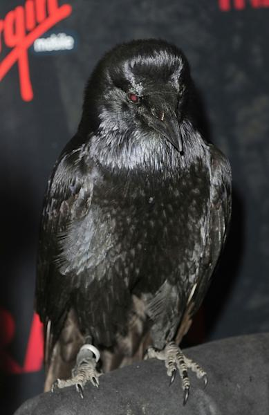 The CIA saw ravens as some of the best birds to train for espionage projects
