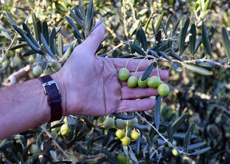 The olive growing region of southern Bosnia was once home mainly to tobacco