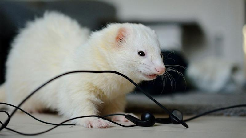 The ferret was determined to come back for round two, sneaking back into their Bulkham Hills home through an unlatched doggy door. Source: Stock image / Getty