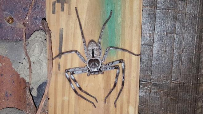 Huntsman Spider, giant, creepy,