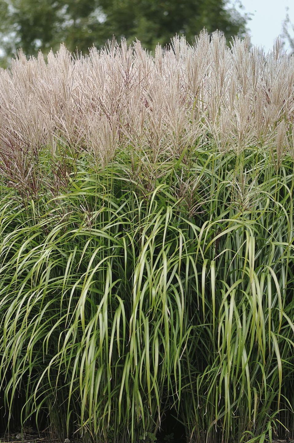 """<p>This <a href=""""https://www.thespruce.com/maiden-grass-miscanthus-sinensis-gracillimus-2132484"""" rel=""""nofollow noopener"""" target=""""_blank"""" data-ylk=""""slk:tall grass variety"""" class=""""link rapid-noclick-resp"""">tall grass variety</a> adds beautiful texture and serve as a soft backdrop for more vibrant pairings. In early fall, the coppery flower heads of maiden grass turn into white plumes which last into the colder months. <br></p><p><strong>When it blooms: </strong>Late summer through fall</p><p><strong>Where to plant:</strong> Full sun</p><p><strong>When to plant: </strong>Spring or fall</p><p><strong>USDA Hardiness Zones:</strong> 5 to 9</p>"""