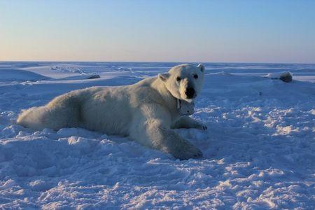 Polar Bears Starving Due to Climate Change, Researchers Confirm