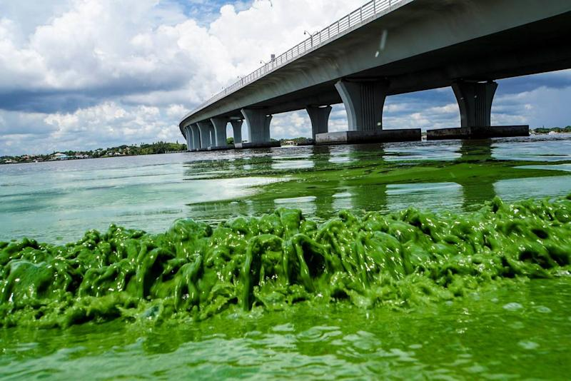 In 2016, discharges from Lake Okeechobee led to widespread blooms along the St. Lucie River.