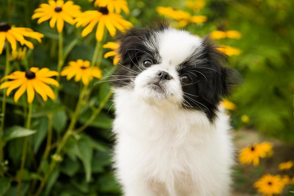 """<p>As a tiny dog, the <a href=""""https://www.dailypaws.com/dogs-puppies/dog-breeds/japanese-chin"""" rel=""""nofollow noopener"""" target=""""_blank"""" data-ylk=""""slk:Japanese Chin"""" class=""""link rapid-noclick-resp"""">Japanese Chin</a> is characteristically """"charming, noble, and loving"""" according to Jackson. While they enjoy a short game, they are mannerly and considered a low-energy companion.</p>"""