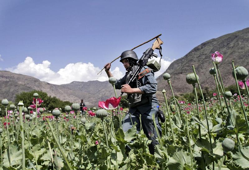 In this Saturday, April 13, 2013 photo, armed Afghan policemen destroy an opium poppy field in Noorgal, Kunar province, east of Kabul, Afghanistan. Opium poppy cultivation has been increasing for a third year in a row and is heading for a record high, the U.N. said in a report released Monday. Poppy cultivation is also dramatically increasing in areas of the southern Taliban heartland, the report showed, especially in regions where thousands of U.S.-led coalition troops have been withdrawn or are in the process of departing. The report indicates that whatever international efforts have been made to wean local farmers off the crop have failed. (AP Photo/Rahmat Gul)