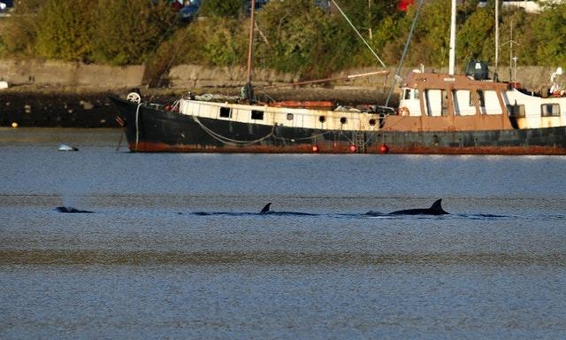 Bottlenose whales in the Clyde