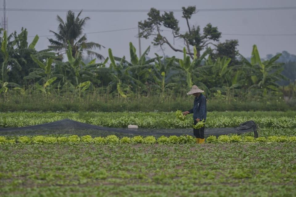 A farmer works at a vegetable farm in Kapar November 3, 2020. ― Picture by Miera Zulyana