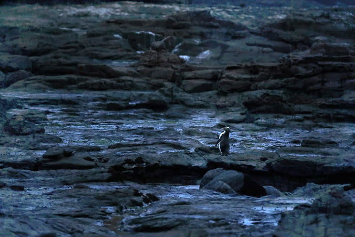 Finally, a rare Yellow-eyed Penguin returns from the sea.