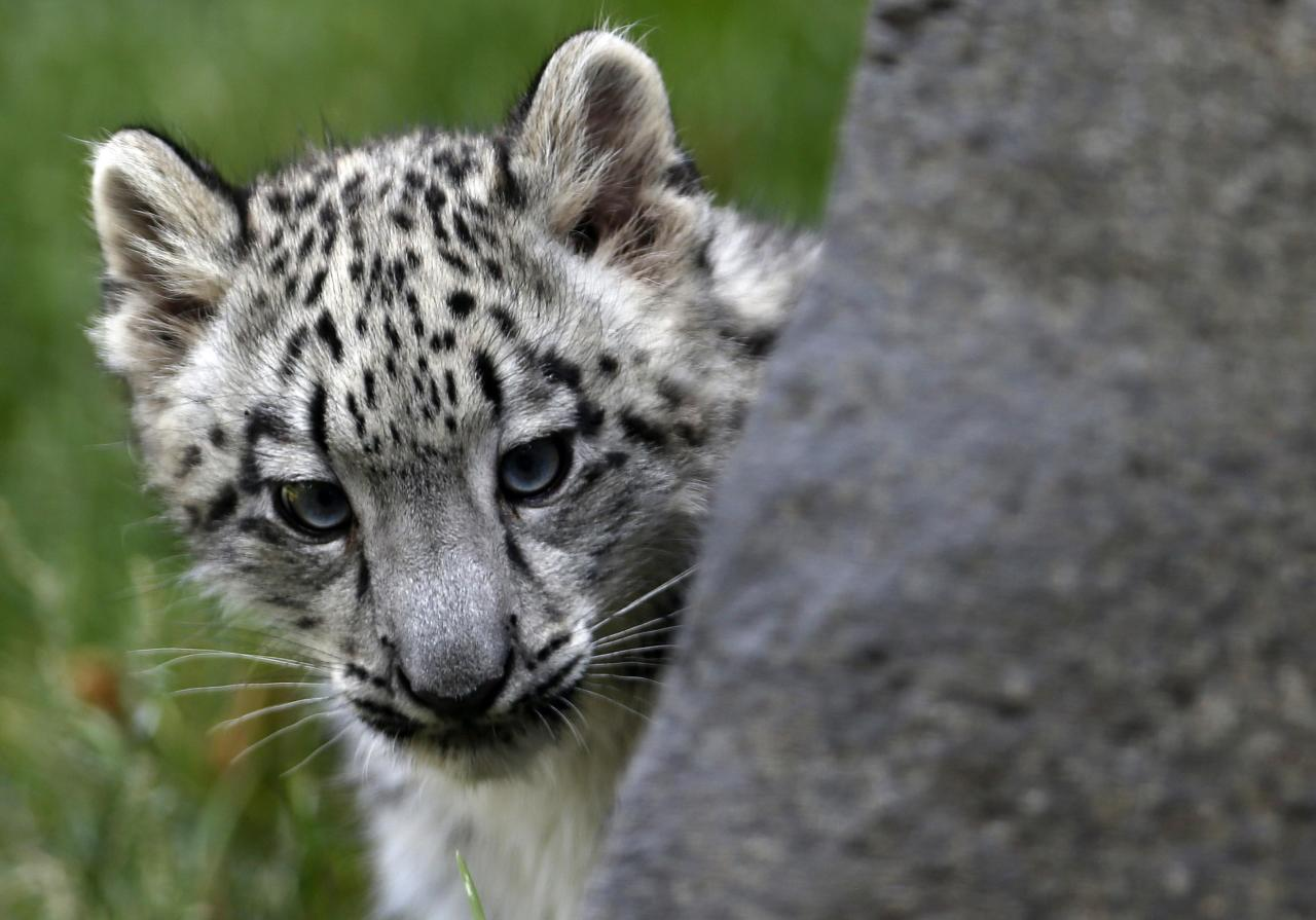 A three month old snow leopard cub looks out from behind a rock at the Brookfield Zoo in Brookfield, Illinois, September 18, 2013. REUTERS/Jim Young (UNITED STATES - Tags: ANIMALS)