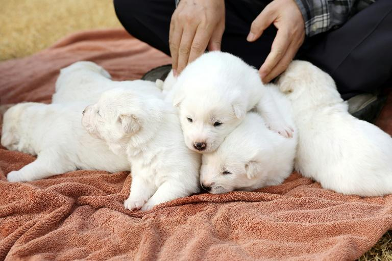 Gomi, which was given to Moon Jae-in by Kim Jong Un, gave birth to six puppies