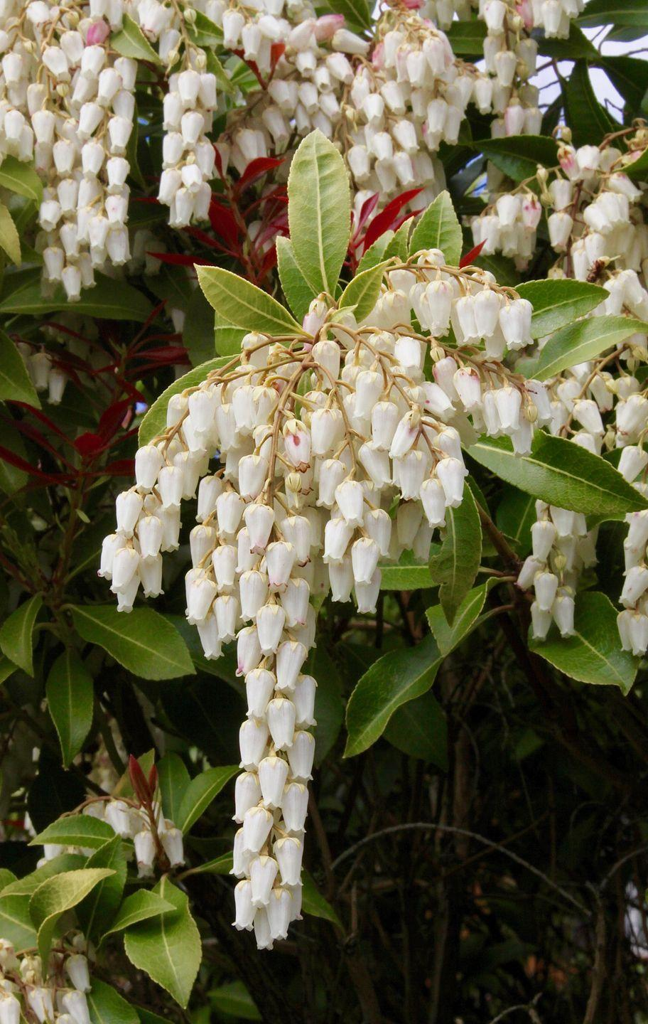 """<p>Need some early season color? Like its namesake, these shrubs have showy clusters of bell-shaped flowers that dangle from the arching branches in late winter to early spring. Lily of the valley needs mostly shade. </p><p><a class=""""link rapid-noclick-resp"""" href=""""https://go.redirectingat.com?id=74968X1596630&url=https%3A%2F%2Fwww.homedepot.com%2Fp%2FSouthern-Living-Plant-Collection-2-Gal-Mountain-Snow-Pieris-Evergreen-Shrub-Clusters-of-Small-Bell-shaped-White-Blooms-46962%2F205065043%3Fsource%3Dshoppingads%26locale%3Den-US%26mtc%3DShopping-B-F_D28O-G-D28O-28_8_LIVE_GOODS-Multi-NA-Feed-SMART-NA-NA-Shrub_Landscape%26cm_mmc%3DShopping-B-F_D28O-G-D28O-28_8_LIVE_GOODS-Multi-NA-Feed-SMART-NA-NA-Shrub_Landscape-71700000064169154-58700005694172116-92700051912266622%26gclid%3DCjwKCAiA9vOABhBfEiwATCi7GLG62ZrkbHVOqFScJNhOurBKt2-khROx6WzZdDVsCirSsk5C5tvqSxoC3VEQAvD_BwE%26gclsrc%3Daw.ds&sref=https%3A%2F%2Fwww.redbookmag.com%2Fhome%2Fg35507259%2Fbest-white-flowers%2F"""" rel=""""nofollow noopener"""" target=""""_blank"""" data-ylk=""""slk:SHOP LILY OF THE VALLEY SHRUBS"""">SHOP LILY OF THE VALLEY SHRUBS</a></p>"""