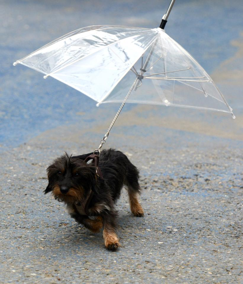 """Dog puppy """"Sandy"""" protects against the rain with an umbrella fixed on her leash during a stroll in Rust, southern Germany, on May 26, 2013.       AFP PHOTO / PATRICK SEEGER"""