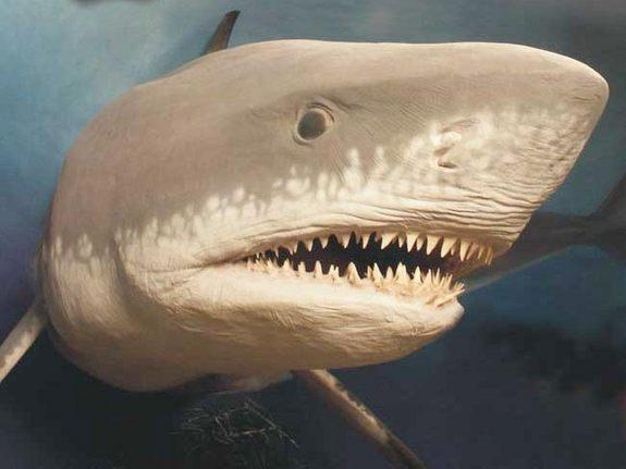 Megalodon Mystery: What Killed Earth's Largest Shark?