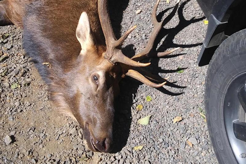 A hunter was killed by a bull elk that he had shot with an arrow the day before: Oregon State Police