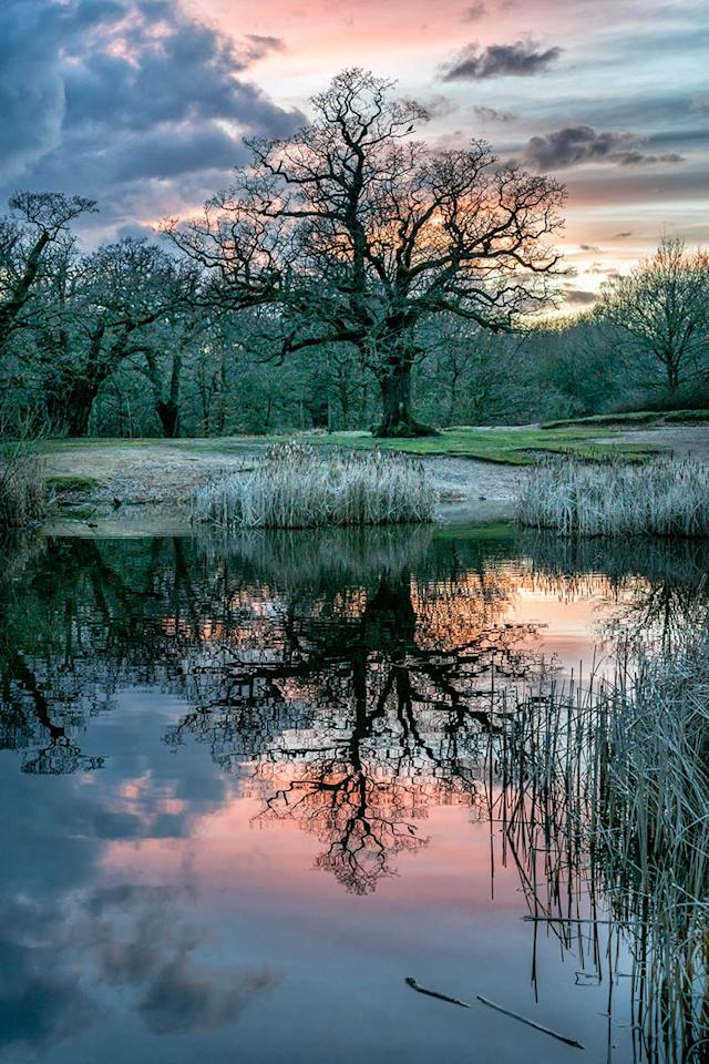 <p>'Ancient Oak Reflection', Epping Forest, Greater London, England, United Kingdom (Marion Sidebottom, 2nd place) </p>