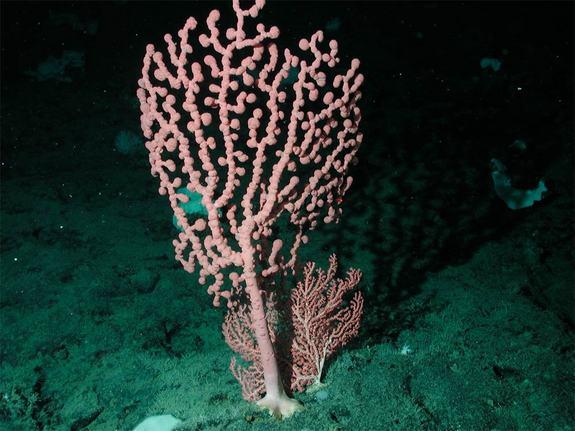 How a Bubblegum Coral Conquered the Globe