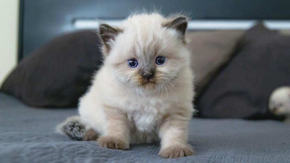 <p>Is it just us, or does this cat remind you of Simba from<em> The Lion King</em> just a little bit?</p>