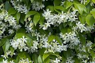 <p>Along with its sweet scent, star jasmine's versatility makes it a delightful addition to many gardens. Grow it along porch supports, to help conceal garden eyesores, as a living fence, or as a ground cover in warmer climates. (It will not attach to masonry without support.)</p><p><strong>When it blooms: </strong>Spring into summer</p><p><strong>Where to plant:</strong> Full sun to partial shade</p><p><strong>USDA Hardiness Zones:</strong> 8-10</p>