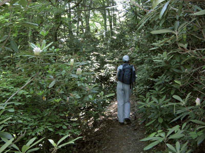 This June 3, 2011 photo shows a hiker traversing a rhododendron forest along a stretch of the 2,181-mile Appalachian Trail near the tiny Blue Ridge Mountain town of Hot Springs, N.C.  The Appalachian Trail runs right through the town of Hot Springs.  (AP Photo/Lindsey Tanner)
