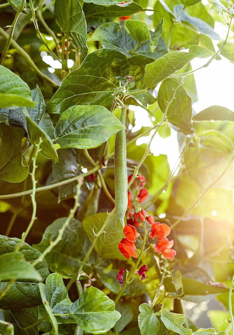 shelling bean plant with red blossoms