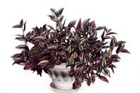"<p>Tradescantia zebrina is a great bathroom plant for adding colour with its purple leaves. It trails and hangs really well, looking great on a high shelf. Look for the leaves turning brown – this is a sign of dryness.</p><p><a class=""link rapid-noclick-resp"" href=""https://go.redirectingat.com?id=127X1599956&url=https%3A%2F%2Fwww.notonthehighstreet.com%2Fstupidegg%2Fproduct%2Fwandering-jew-kokedama-tradescantia-zebrina%3FDGMKT%3DFID__TID_aud-372789095729%253Apla-343259637978_PID_729328_CRI_343259637978%26gclid%3DCjwKCAjwgOGCBhAlEiwA7FUXkghY2RFkjxJJr467bVbZnosxarJdCzAhyP2BHQ1kjAppZaduGvZBrBoCIqsQAvD_BwE&sref=https%3A%2F%2Fwww.countryliving.com%2Fuk%2Fhomes-interiors%2Finteriors%2Fg33454786%2Fbathroom-plants%2F"" rel=""nofollow noopener"" target=""_blank"" data-ylk=""slk:BUY NOW"">BUY NOW</a></p>"