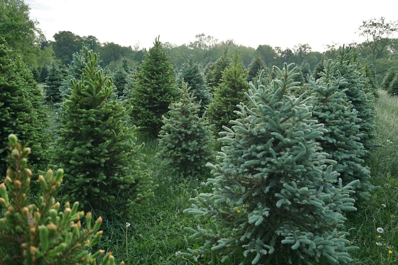"""<p>No one can deny that the Christmas tree is a big part of holiday traditions. Every year, families pile into their cars for the annual trip to the <a href=""""https://www.countryliving.com/life/g24108155/christmas-tree-farms-near-me/"""" target=""""_blank"""">Christmas tree farm</a> (or we simply ask Dad to make a trip up to the attic to retrieve our  <a href=""""https://www.countryliving.com/home-design/decorating-ideas/g5027/best-artificial-christmas-trees/"""" target=""""_blank"""">trusty artificial tree</a>) on the day after Thanksgiving. Siblings take a short break from fighting in order to  <a href=""""https://www.countryliving.com/home-design/decorating-ideas/tips/g1251/trim-christmas-trees-1208/"""" target=""""_blank"""">decorate it </a>with <a href=""""https://www.countryliving.com/diy-crafts/how-to/g1070/easy-to-make-christmas-ornament-crafts/"""" target=""""_blank"""">Christmas ornaments </a>lovingly crafted and collected through the years. We try to figure out new ways to keep <a href=""""https://www.countryliving.com/entertaining/a29517159/how-to-keep-christmas-tree-alive/"""" target=""""_blank"""">Christmas trees alive</a> longer. We're constantly cleaning up stray needles. We do everything in our power to keep the <a href=""""https://www.countryliving.com/life/kids-pets/g28916373/how-to-keep-cats-out-of-christmas-tree/"""" target=""""_blank"""">cat away from it</a>. There are <a href=""""https://www.countryliving.com/life/g2864/best-country-christmas-songs/"""" target=""""_blank"""">Christmas songs </a>about it. There are <a href=""""https://www.countryliving.com/life/entertainment/a26802748/hallmark-christmas-movies-schedule-2019/"""" target=""""_blank"""">Hallmark movies </a>where they figure prominently. (See <em>Fir Crazy</em>.) The point is, we are obsessed with Christmas trees.</p><p>But for something that plays such a big part in our lives for a month or so of every year, how much do you really know about our Christmas trees? How many species can we honestly name?  Do you know why firs are maybe a better for your heavy ornaments than, s"""