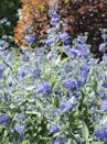 "<p>This lesser-known shrub has brilliant blue flowers that bloom in late summer to fall when many other flowering shrubs are done with their annual show. Bees and butterflies will flock to it! Give it full sun.</p><p><a class=""link rapid-noclick-resp"" href=""https://www.greatgardenplants.com/products/beyond-midnight-bluebeard?variant=37358132887719"" rel=""nofollow noopener"" target=""_blank"" data-ylk=""slk:SHOP NOW"">SHOP NOW</a></p>"