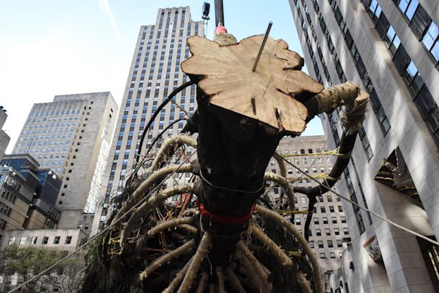 The Rockefeller Center tree is seen just before it is set upright.