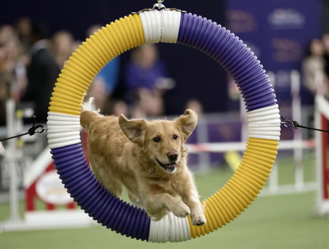 <p> Tommee, a golden retriever, competes in the Masters Agility Championship during the Westminster Kennel Club Dog Show, Saturday, Feb. 10, 2018, in New York. (AP Photo/Mary Altaffer) </p>