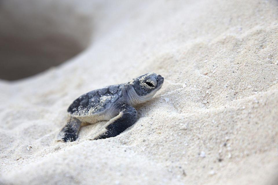 "<p>""The temperature determines the sex of the hatchling, with a warmer nest producing more females, and cooler nests producing more males."" A representative from the <a href=""https://www.georgiaaquarium.org/"" rel=""nofollow noopener"" target=""_blank"" data-ylk=""slk:Georgia Aquarium"" class=""link rapid-noclick-resp"">Georgia Aquarium</a> says. </p>"