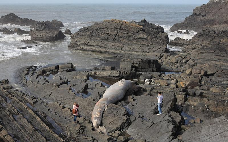 The enormous fin whale washed up on rocks in Hartland Quay, Devon - Credit: MARK PASSMORE/APEX
