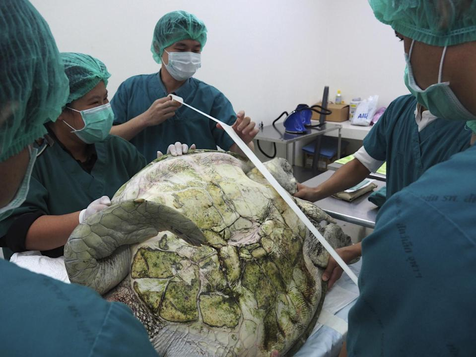 """In this photo released by Chulalongkorn University's veterinary faculty, veterinarians prepare to operate the female green green turtle nicknamed """"Bank"""" at the veterinary faculty in Bangkok, Thailand, Monday, March 6, 2017. Veterinarians operated on """"Bank,"""" removing less than 1,000 coins from the endangered animal. Her indigestible diet was a result of many tourists seeking good fortune tossing coins into her pool over many years in the eastern town of Sri Racha. (Chulalongkorn University's veterinary faculty via AP)"""